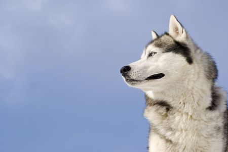 siberian: Siberian husky on a  blue sky background