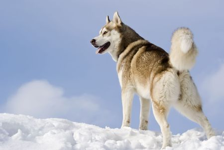 Siberian husky stands at snow mountain top photo