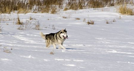 Picture of a siberian husky in a steppe landscape photo