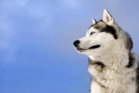 Siberian husky on a  blue sky background