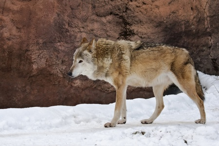 Wild grey wolf on the snow landscape photo