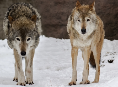 lobo feroz: Dos lobos salvajes en el paisaje de la nieve Foto de archivo