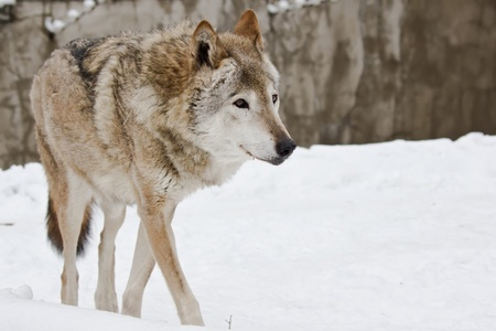 雪の風景に野生の暗い灰色オオカミ