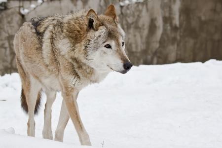 Wild dark grey wolf on the snow landscape