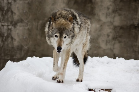 Wild dark grey wolf on the snow landscape photo