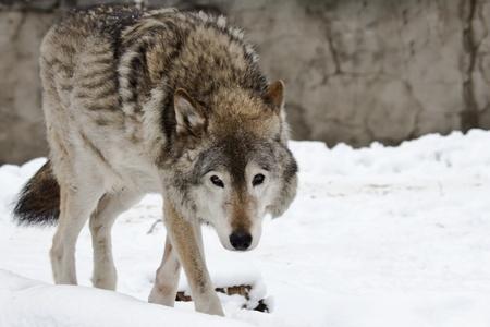 Wild dark grey wolf on the snow landscape 版權商用圖片 - 11931645