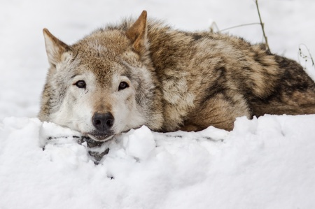 Wild wolf on the snow landscape   photo
