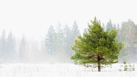 Green tree on the background of foggy forest photo