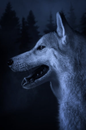 Grey wolf on a deep forest background
