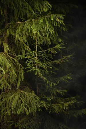 shrouds: Fog shrouds fur-trees in the deep forest