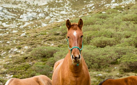 portrait of a herd of red horses grazing on a mountain of Asturias, Spain. Stock Photo