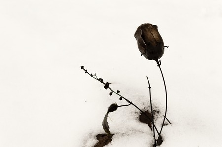 An old black plastic flower, stuck in a dry river bed, covered with snow. Concept of death, old age and abandonment. Pollution. 스톡 콘텐츠