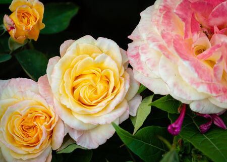 Background of pink yellow orange and peach roses with leaf Stock Photo