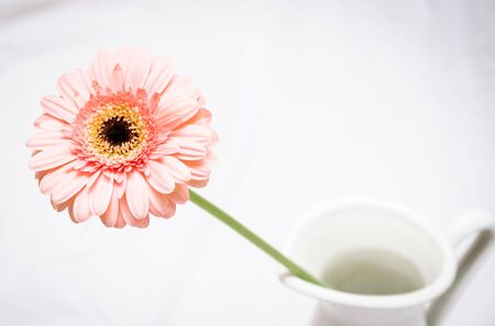 Macro Photo of a Vibrant Pink Gerbera Daisy in a Vase Against a White Background
