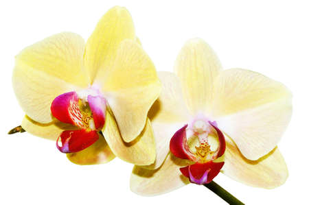 yellow orchid branch photo