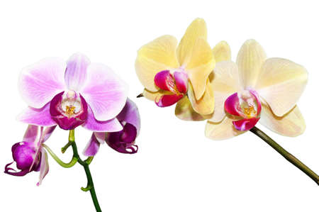 two branches of the orchid on white background