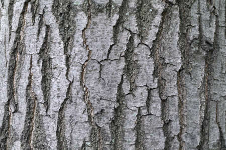 ash tree bark textural background