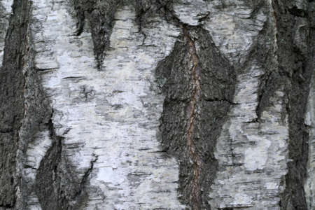 birch tree bark textural background  photo