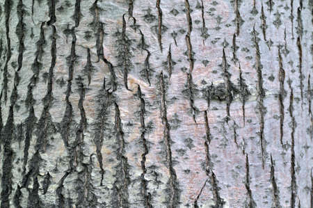 linden tree bark textural background