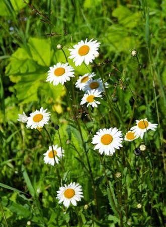 field camomiles Stock Photo - 15540867