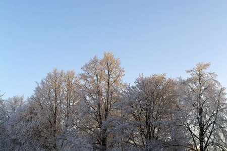 The tops of the icy trees in the morning sunlight  Stock Photo