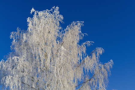 Icy birch in the morning sunlight  Stock Photo