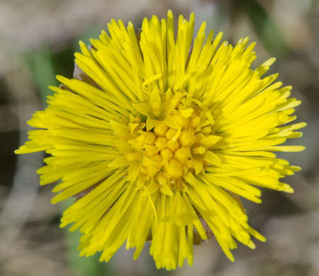 Coltsfoot flower. Stock Photo