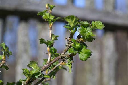 gooseberry bush: Dehiscing on gooseberry bush branch  Stock Photo