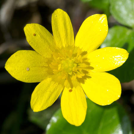 buttercup flower: Buttercup flower  Stock Photo