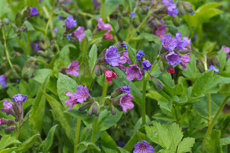 Lungwort flower  photo