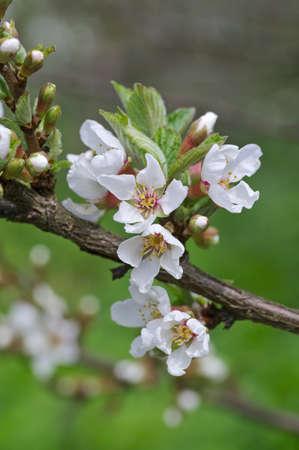 cherrytree: Dehiscing on cherry-tree flowers
