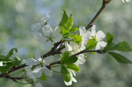 Dehiscing on plum-tree flowers