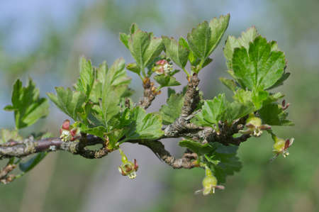 Dehiscing on gooseberry bush bud. Stock Photo