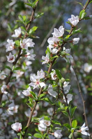 cherrytree: Dehiscing on cherry-tree flowers.