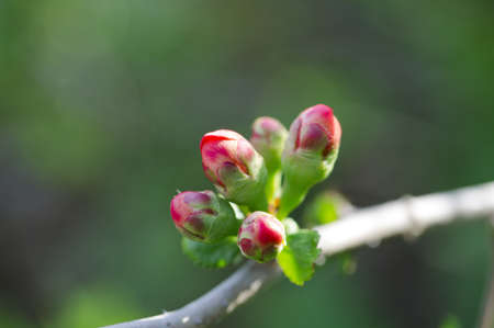 Dehiscing on japanese quince bud.