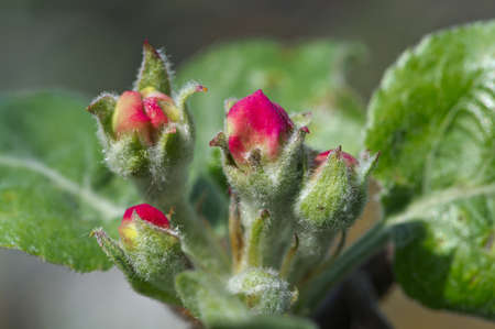 Dehiscing on apple-tree bud.