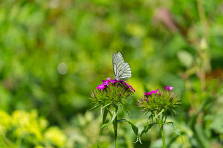 Black-veined white butterfly on a flower