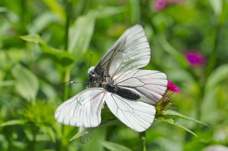 Couple of black-veined white butterflies on a flower