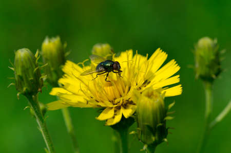 Fly on a yellow sow-thistle flower Stock Photo