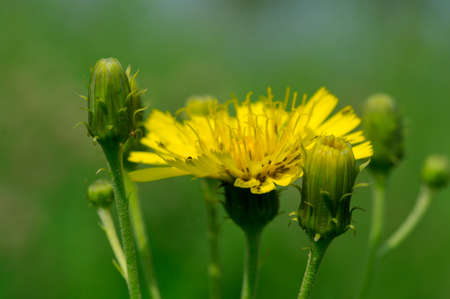 Yellow sow-thistle flower