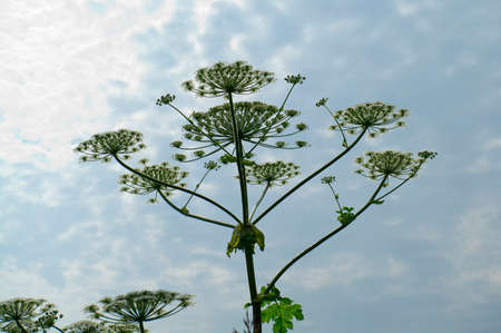 Cowparsnip flower against the sky.