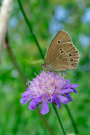 Woodland Ringlet butterfly on a widow flower. Stock Photo