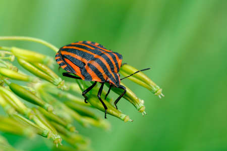 Black and red italian Striped-Bug.