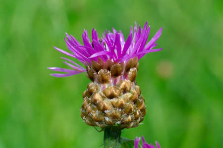 Purple creeping thistle flower.