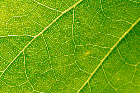 Reverse side of the leaf.