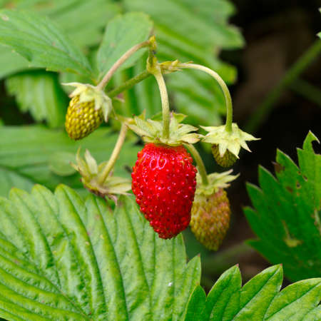 Strawberry fruit on the twig