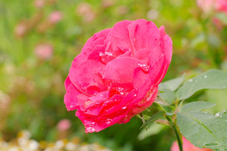 Red rose flower in the garden Stock Photo