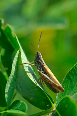 Grasshopper on the leaves of clover. Stock Photo