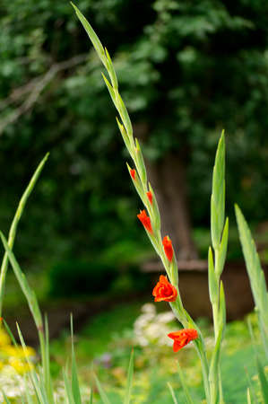 Red gladiolus twig in the garden