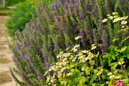 flowerbed: Flower-bed with camomile and bluebell.
